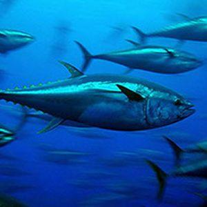 Bluefin Tuna In The Pacific Ocean Fukushima Seafood Bluefin Tuna Atlantic Bluefin Tuna Bluefin
