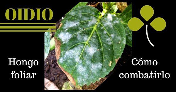 Oidio tratamientos para combatirlo en tus plantas for Hongos en las plantas de jardin