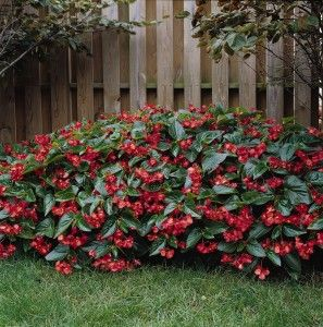 Begonia Dragon Wing Massed In A Ground Planting With Images