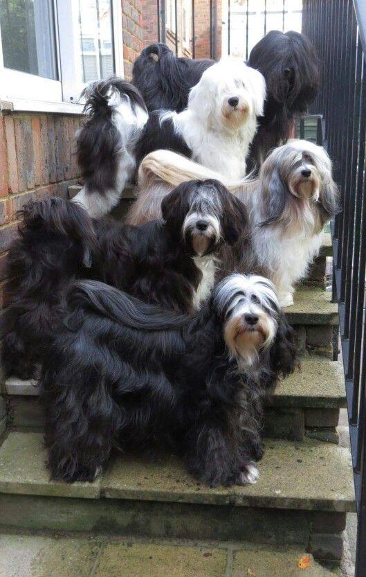 Tibetan Terriers Tiere Hund Hunde Hunderassen