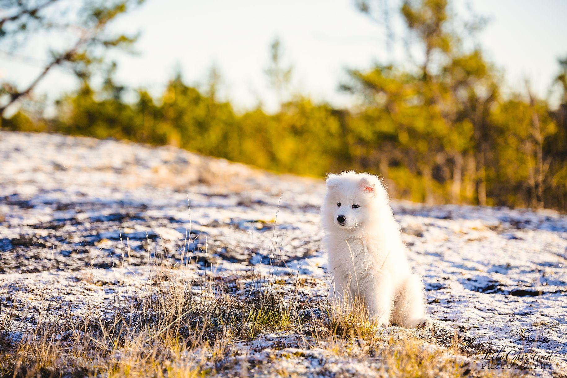 Uusi Perheenjasen Lili Koiranpentu Koiranpennut Samojedi