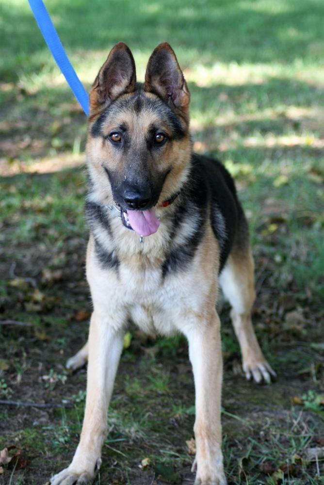 German Shepherd Dog Dog For Adoption In Mt Airy Md Adn 667026