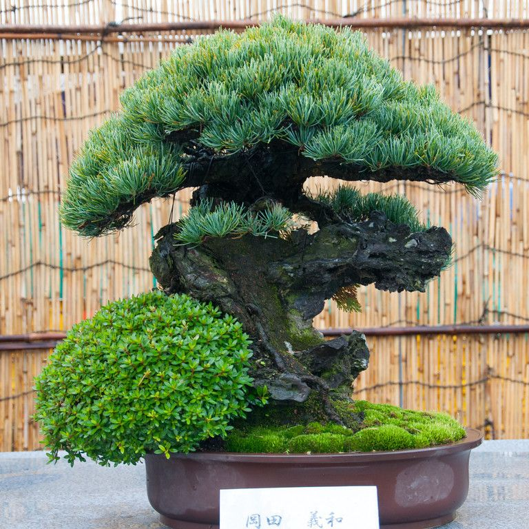 white pine i see a dragon bonsai pinterest bonsai. Black Bedroom Furniture Sets. Home Design Ideas