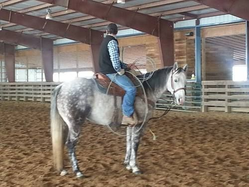 9 Year Old 15.1 hand Dapple Grey Gelding For Sale - For ...