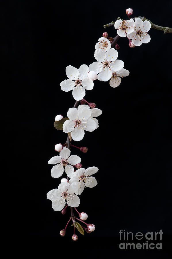 Blossom On Black By Tim Gainey Blossoms Art Cherry Blossom Flowers Flower Aesthetic