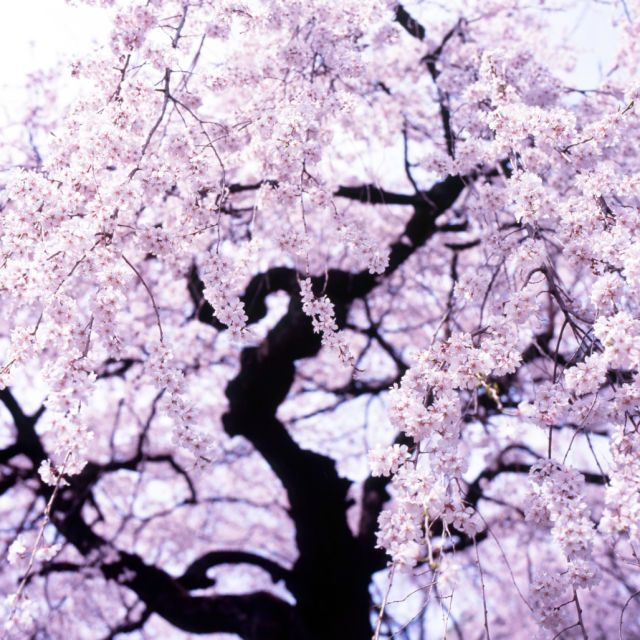 11 Stunning Photos Of Cherry Blossoms Just In Time For Spring Flowering Cherry Tree Blossom Cherry Blossom