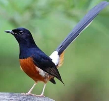 Pin Oleh Yayan Priananda Di Belajar Berbagai Penyebab Penyakit Murai Burung Cantik Habitat
