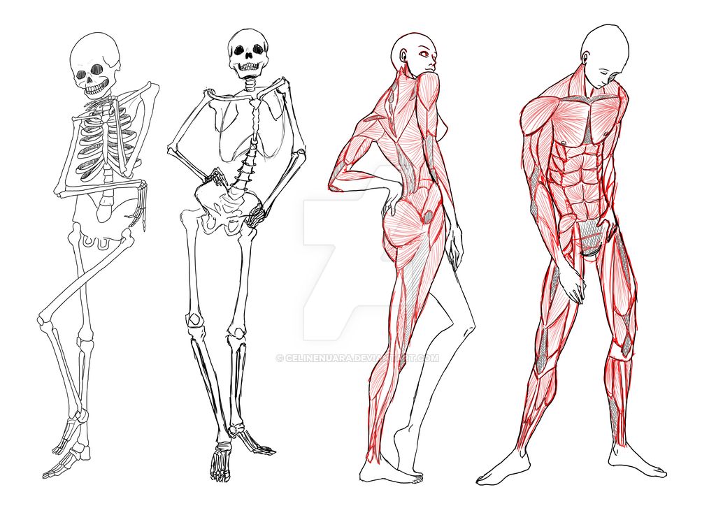 anatomy study skeleton and skeleton for studying anatomy with top 10 ...