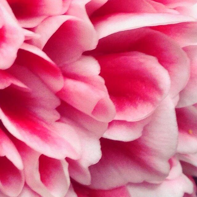Camellia Volunteer Beautiful Colors Flowers Beautiful