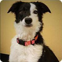Border Collie Dog For Adoption In Little Rock Arkansas