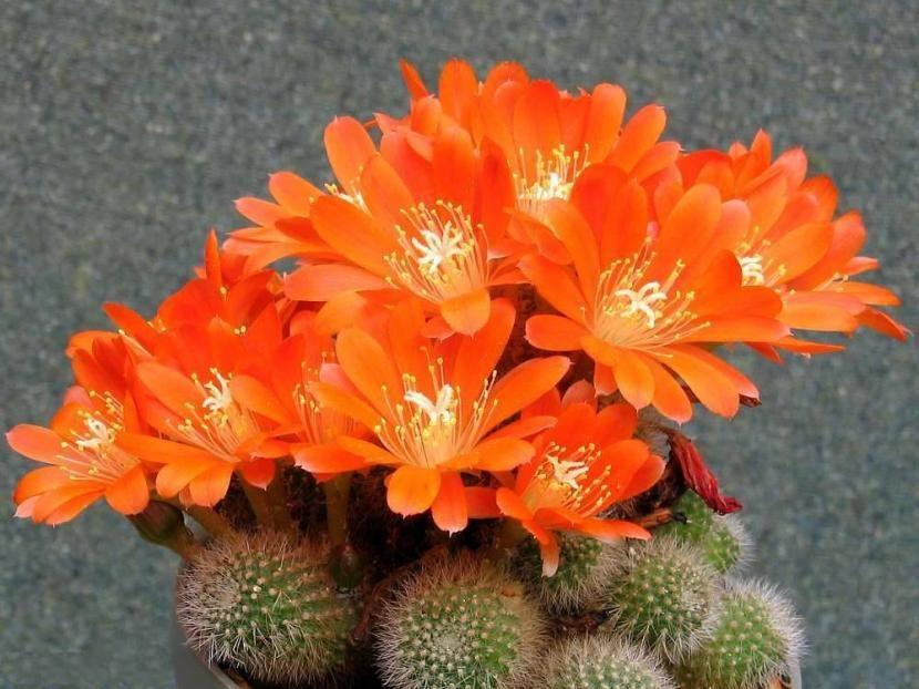 Tipos de cactus pequeños que te enamorarán - http://www.jardineriaon.com/tipos-de-cactus-pequenos-que-te-enamoraran.html