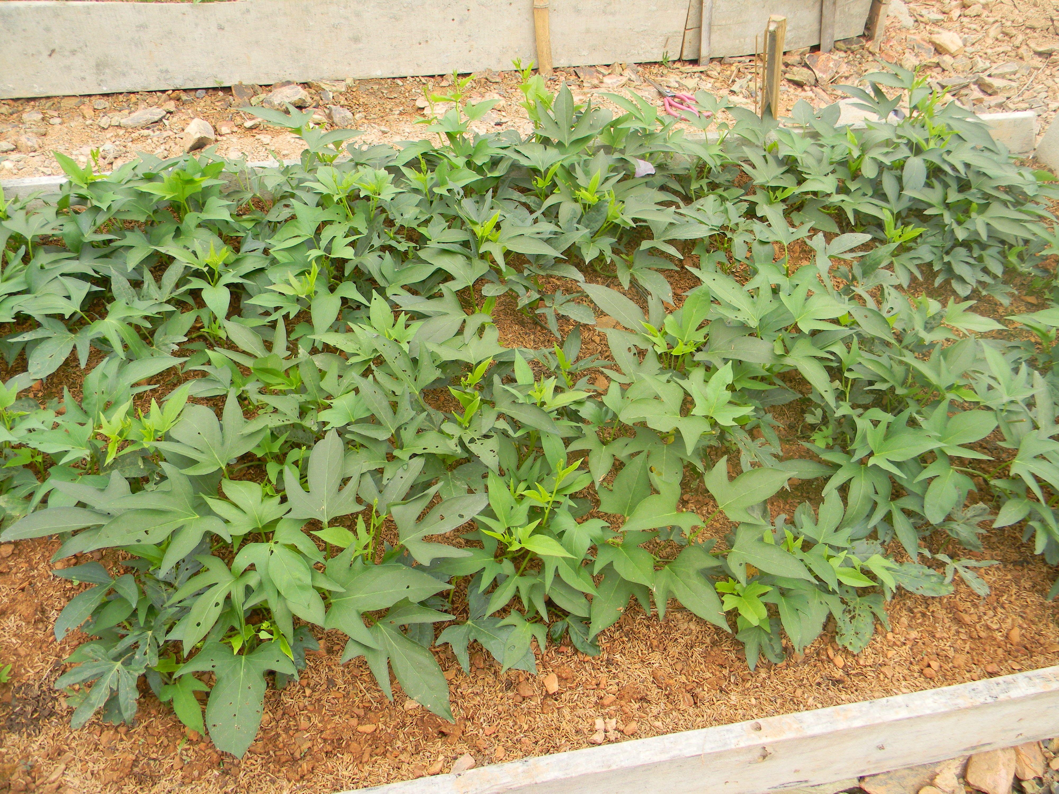 Sweet Potato (Vietnamese name: Rau Khoai/Rau Lang) for ...
