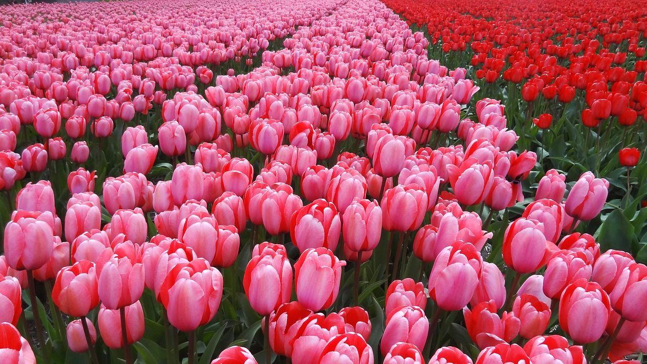 Netherlands, Netherlands, Spring, Tulips, Pink