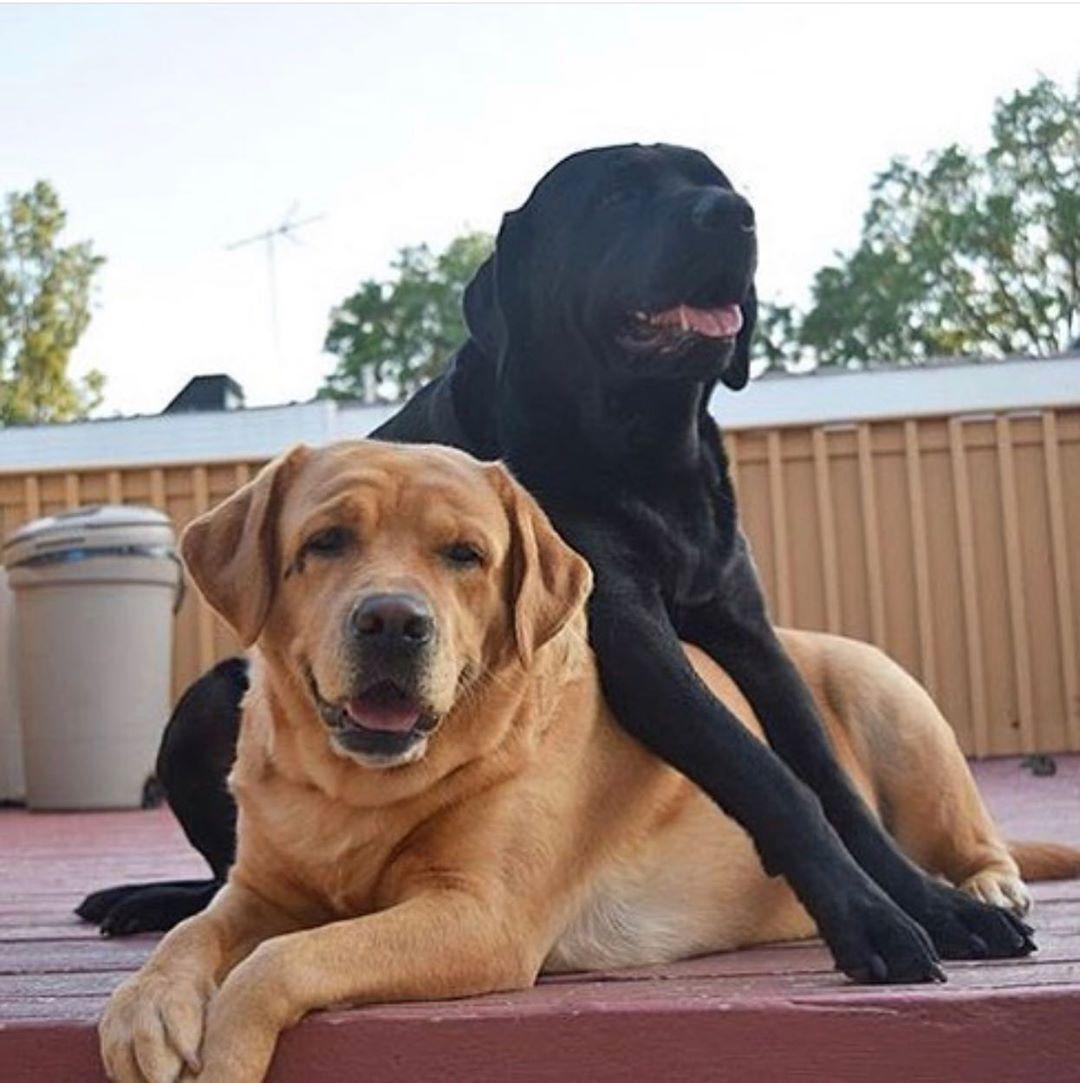 Best Labrador Friends