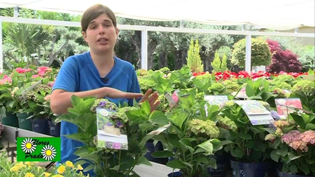 C mo cuidar las hortensias hortensias pinterest - Como cuidar las hortensias en maceta ...