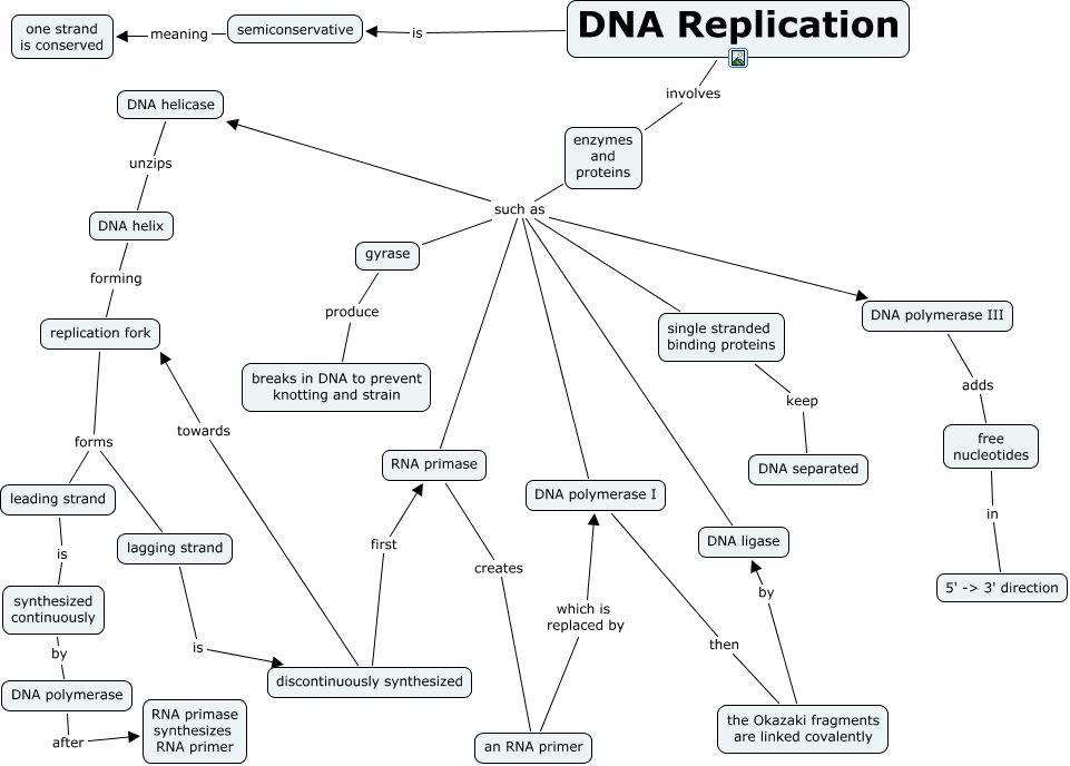 concept map dna rna protein   Google Search | AP Biology | Biology