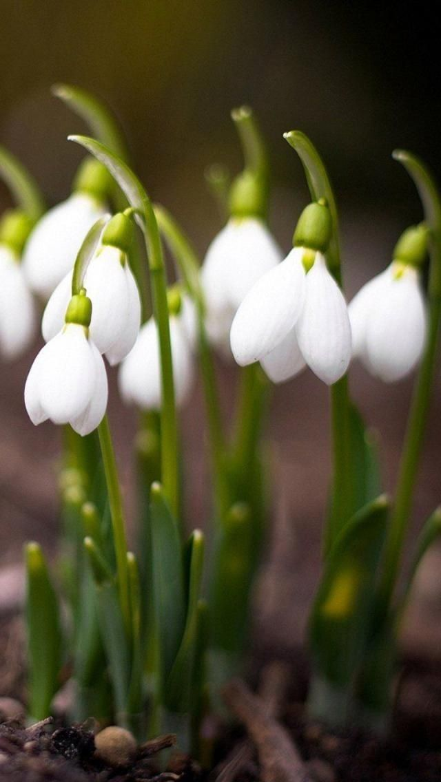 Galanthus White Flowers Types Of White Flowers Beautiful Flowers