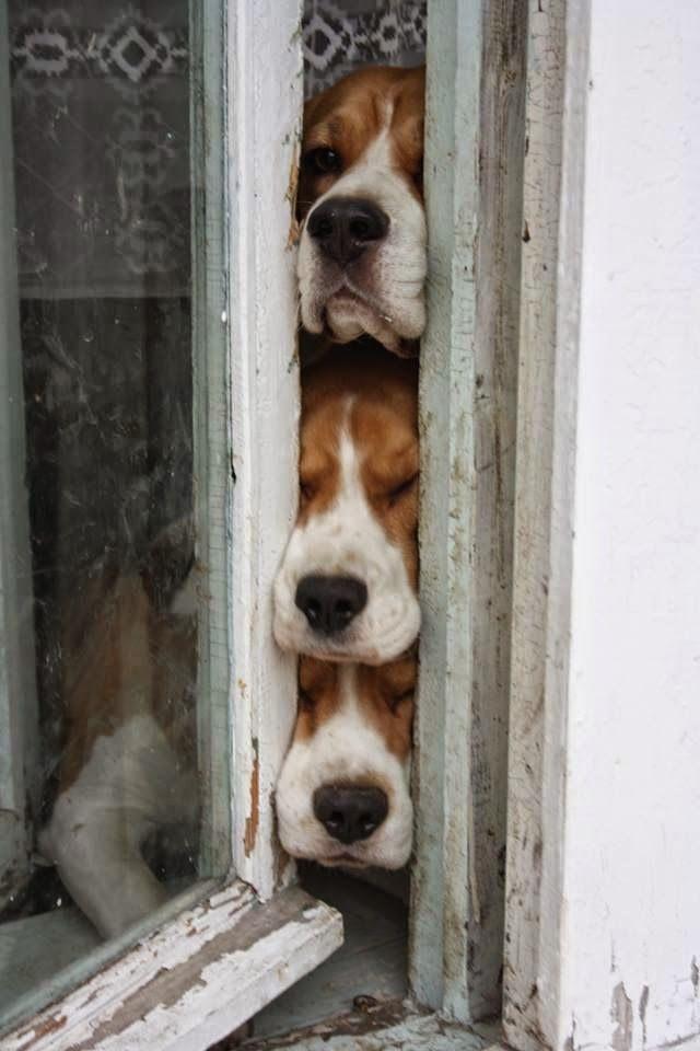 Beagles curiosos espreitando pela janela