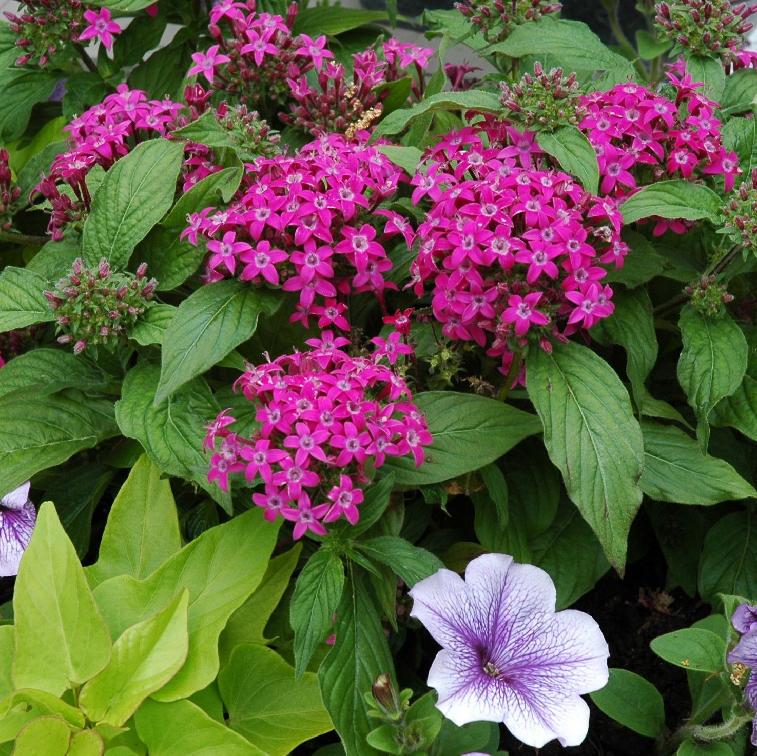 Pentas Rock In Container Gardens The Clusters Of Star Shaped
