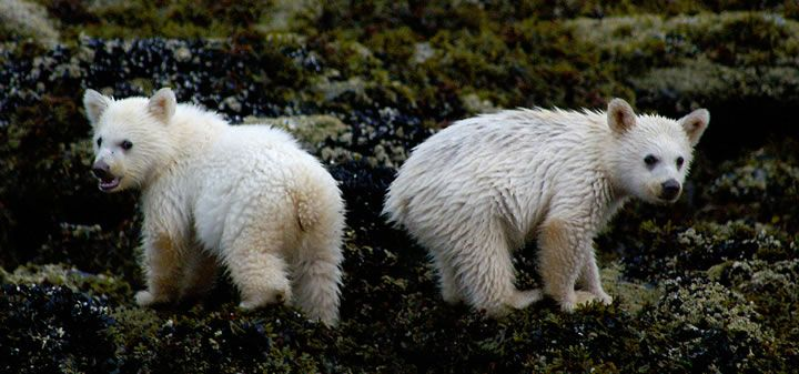 Spirit Bear Cubs Eating Mussels At Low Tide