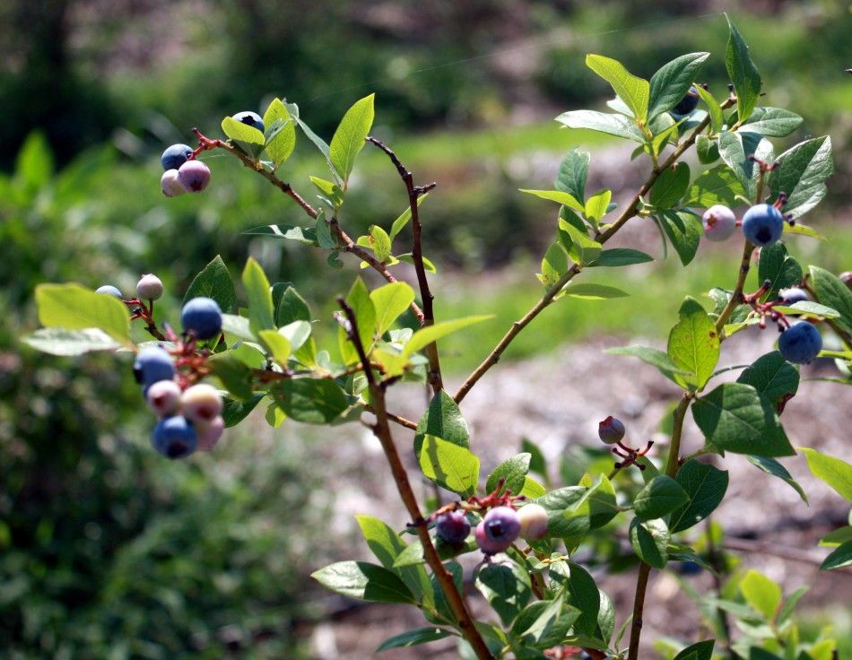 The Boisterous Blueberry Growing Blueberries In The Home