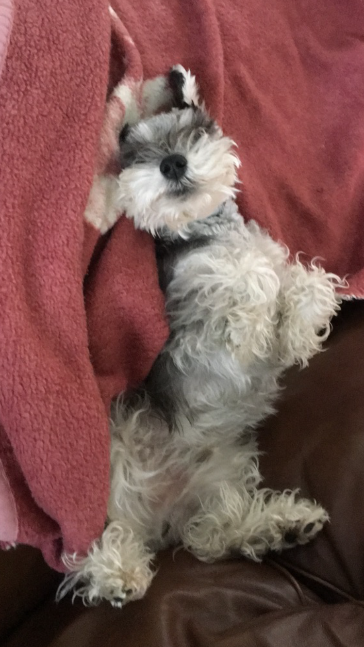 Sabot The Miniature Schnauzer Miniature Schnauzers Pinterest