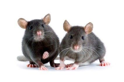 Treat Your Friend Like a Rat | PetMeds Blog    <3 SO SWEEEEEEET!!!!