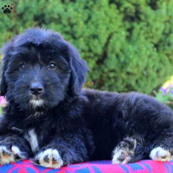 Heidi Bernedoodle Miniature Puppy For Sale In Pennsylvania Miniature Puppies Puppy Adoption Bernedoodle