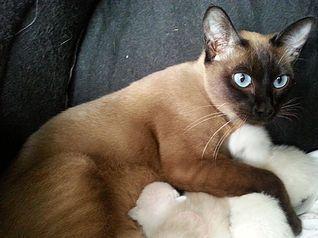 Elsprite Tonkinese Toygers Tonkinese Cat Tonkinese Tabby Cat