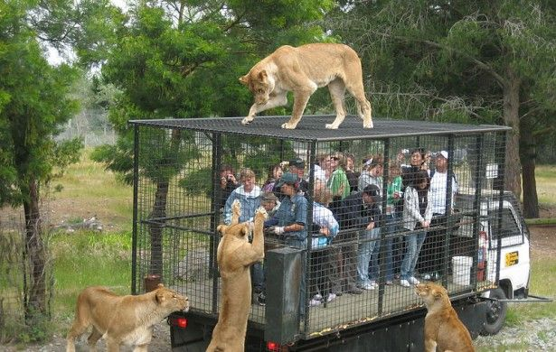 Lion Park: American Tourist Killed in South Africa Lion