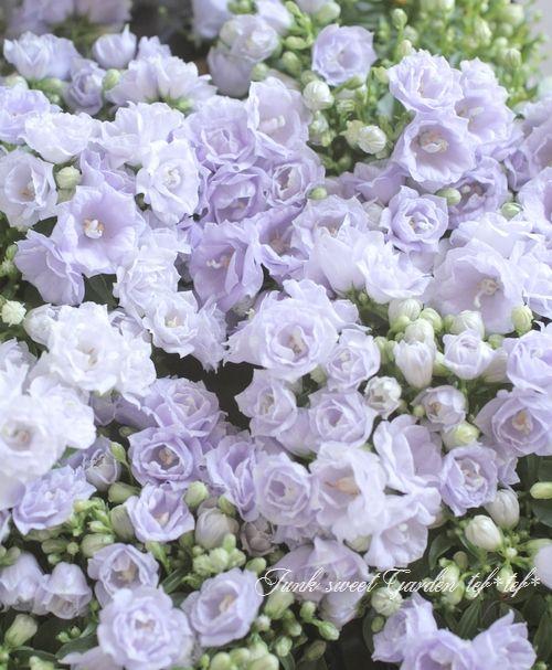 カンパニュラ エリザベスオリバー ブルー Junk Sweet Garden Tef Tef 花 美しい花 花 かわいい