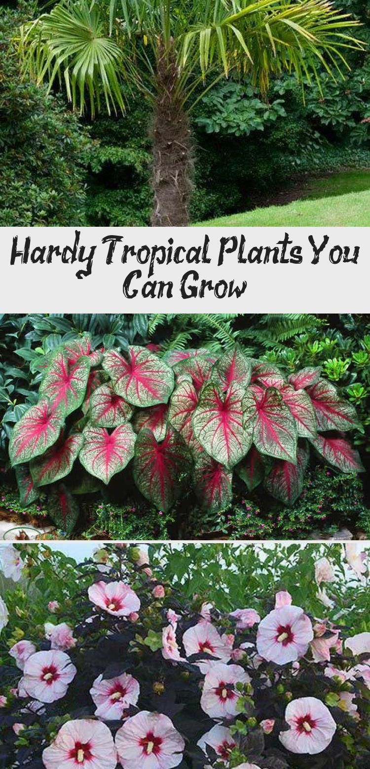 Hardy Tropical Plants You Can Grow! #elephantearsandtropicals We found these hardy tropicals you can grow, just about anywhere! Some of them are pretty hardy in all but the coldest climates. • Hardy Tropical Plants You Can Grow! • Palms, bamboo, elephant ears, banana. Check out these tips! #hardytropicals #hardytropicalplants #hardybananaplant #growhardytropicalplants #gardening #tropicalgardening #tropicalgardenCalifornia #tropicalgardenDecor #tropicalgardenRestaurant #tropicalgardenArchite #elephantearsandtropicals