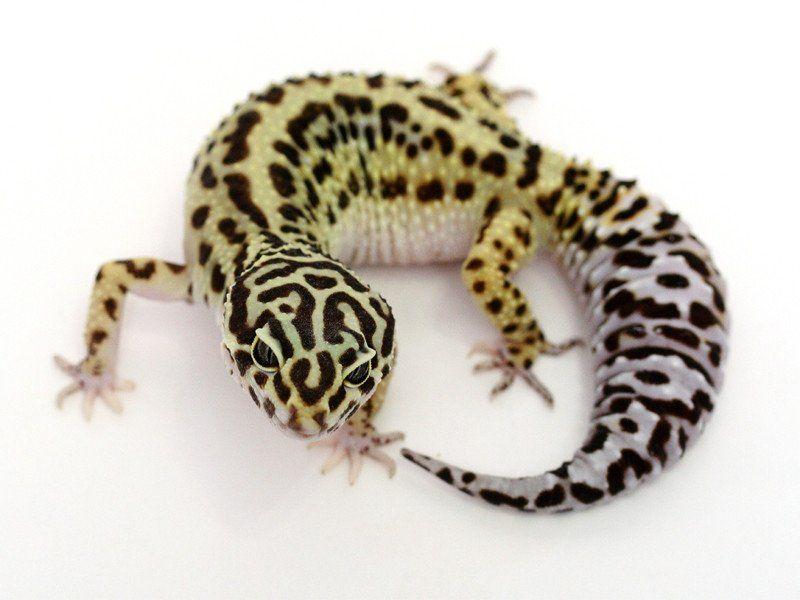 Halloween Mask Leopard Gecko.Extreme Halloween Pure Halloween Mask Leopard Gecko 080914b