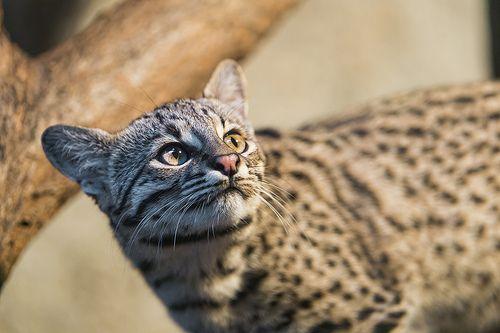 Geoffroy's cat (Leopardus geoffroyi) looking up.