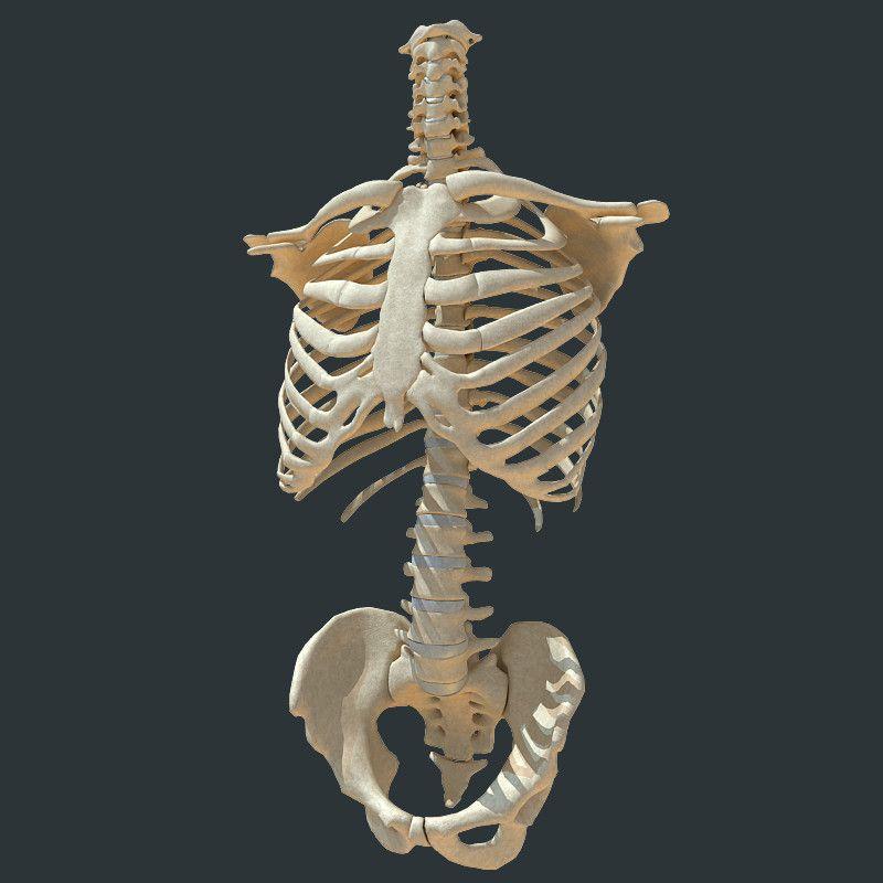 кости туловища картинки пскове состоялась закладка