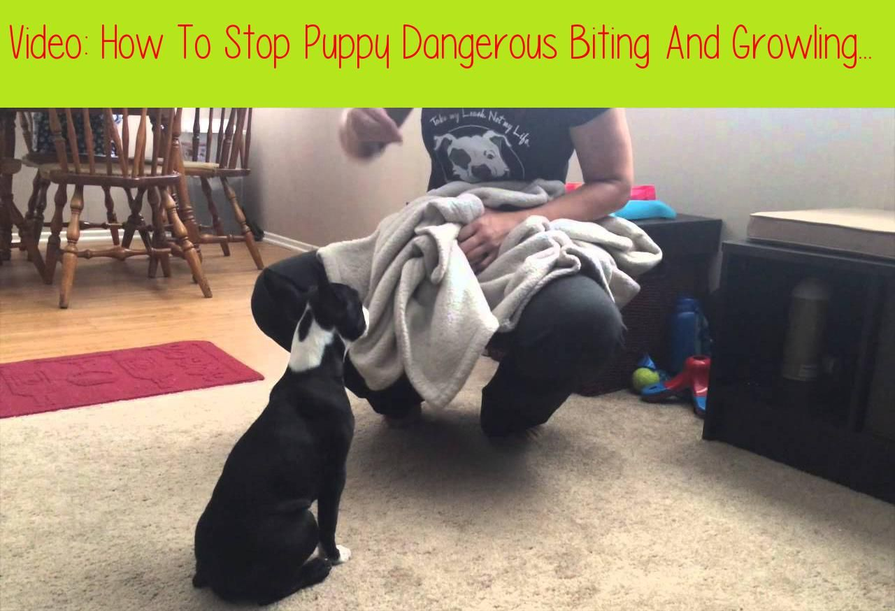 How To Stop Puppy Dangerous Biting And Growling Part 1subscribe If