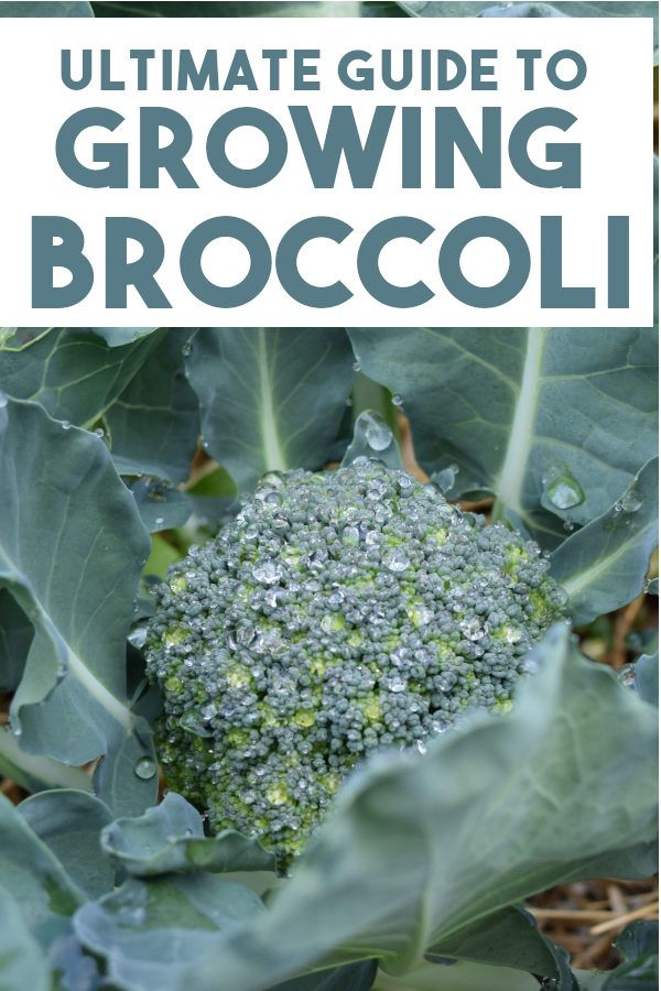 How to Grow Broccoli - Easy Beginners Guide in 2020 ...