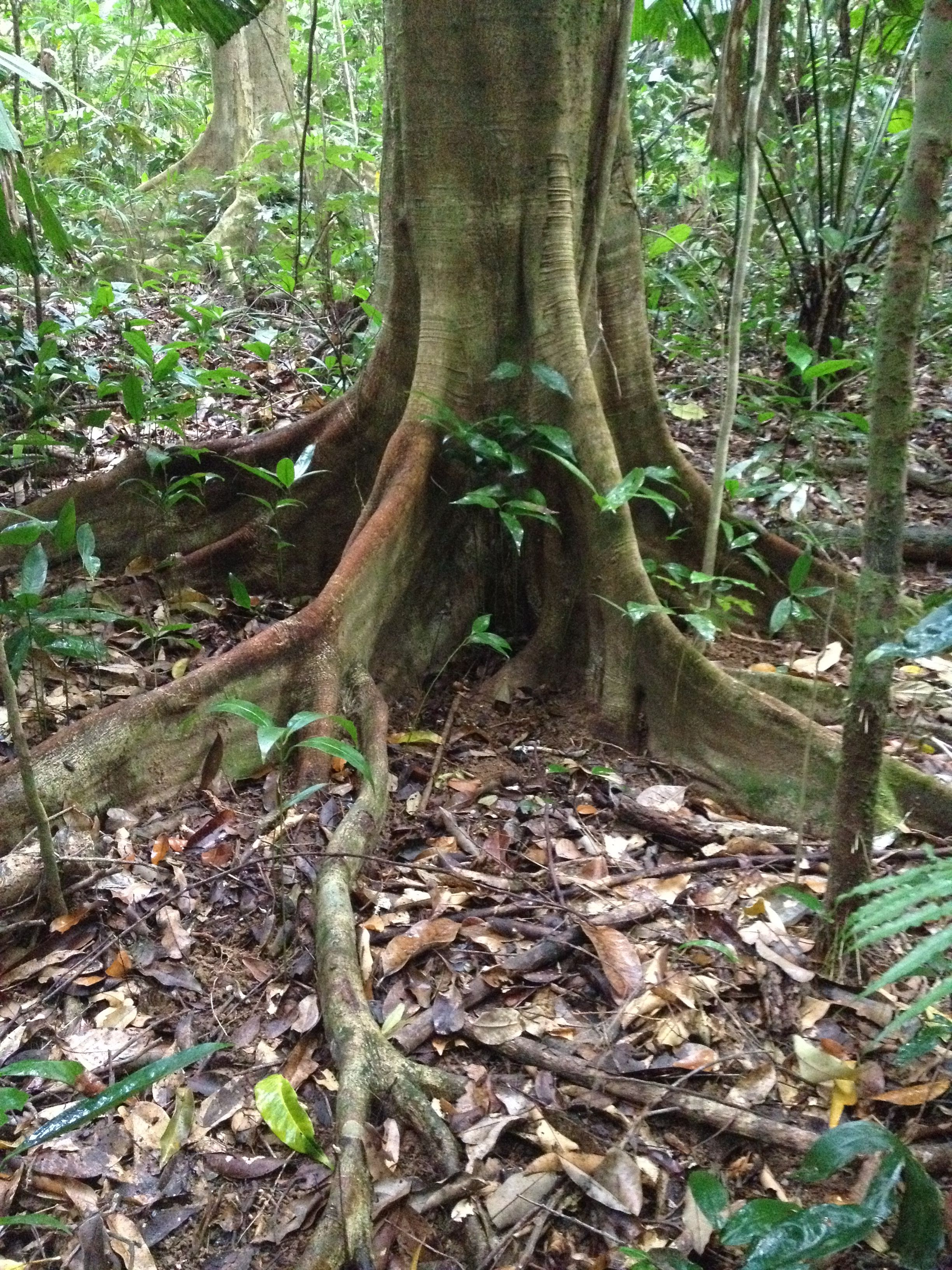 pics of rainforest trees