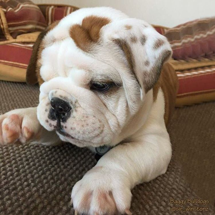 English Bulldog Pup Classic Look English Bulldog Puppies Baby