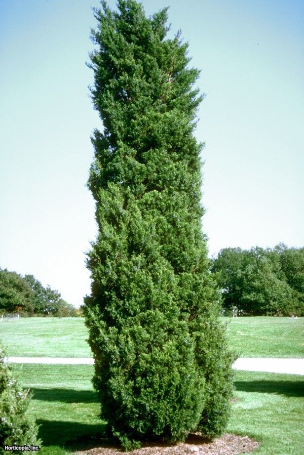 Red Cedar Hedge ~ Eastern red cedar juniperus virginiana cupressifolia