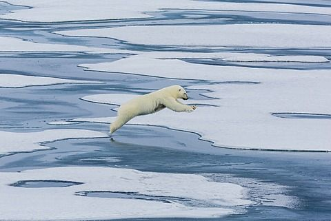 Una madre oso polar (Ursus maritimus) saltando entre témpanos en el estrecho de Lancaster, Nunavut, Canadá, América del Norte