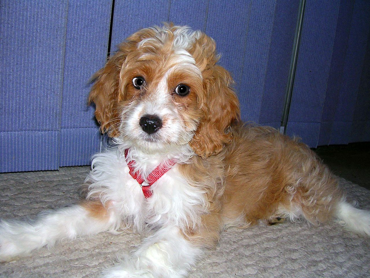 White And Brown German Shepherd Poodle Mix Puppies