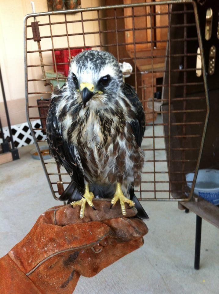 Juvenile Mississippi Kite Wildlife Animals Prey