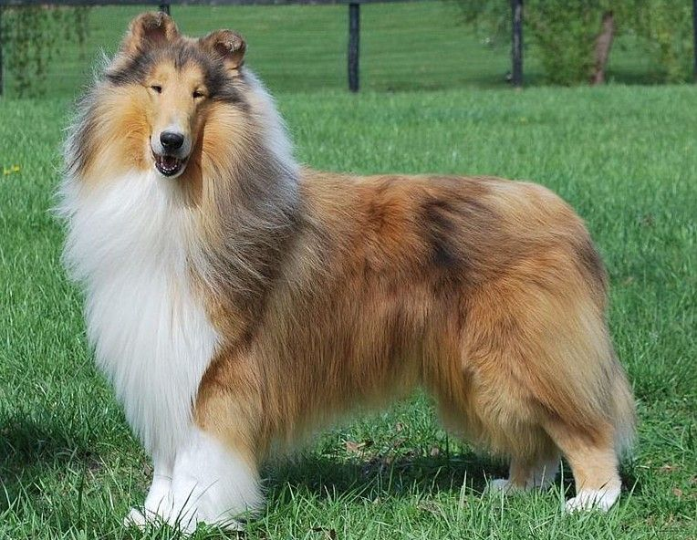 Ch Countryview Give My Regards Rough Collie Countryview Collies Caes As Cronicas