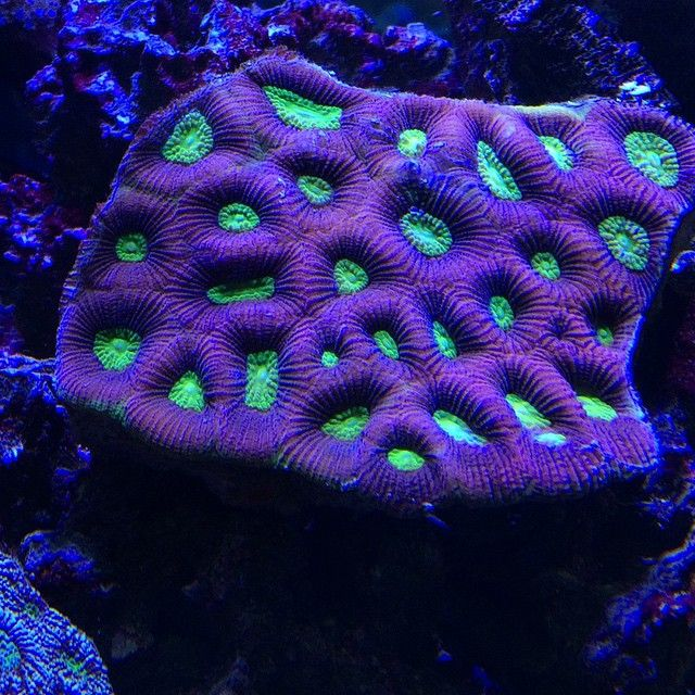 #iphone5s #coral #reeftank #coralreeftank #reeftanksofvine #reefers #reefpack…
