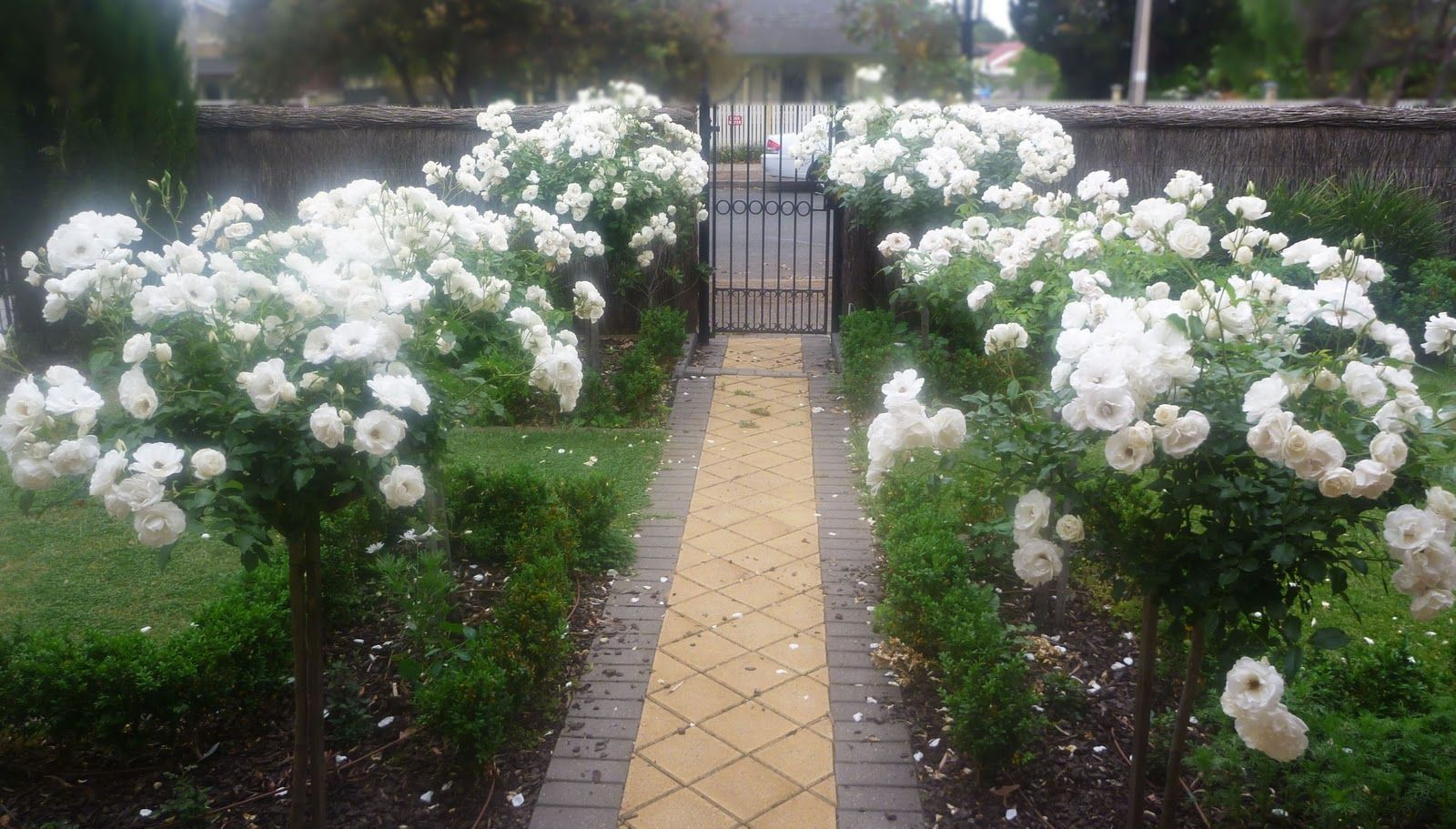 Pin By Home Gnome On Garden Landscaping Standard Roses Rose