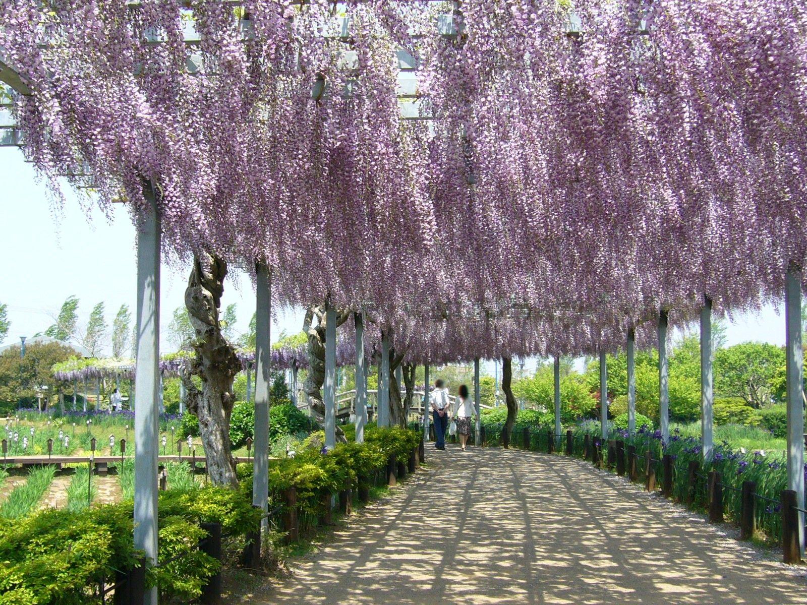 Lilaakac Szep Kepeken Szep Kepek Minden Temaban In 2020 Wisteria Plant Trellis Plants Wisteria Tree