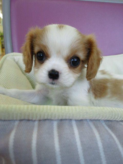 Adorable Blenheim Cavalier King Charles Spaniel Puppy King