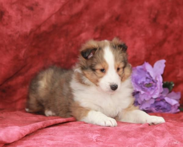 Shetland Sheepdog Puppy for Sale