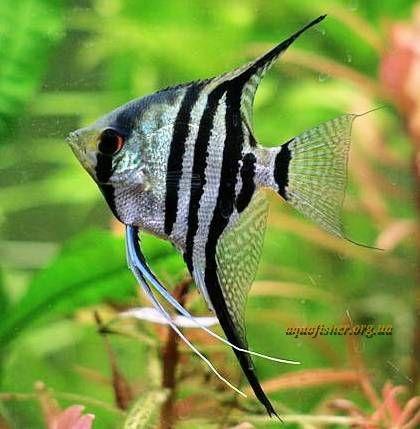 Zebra Angelfish Zebra Angelfish Fish Breeding Angel Fish Tropical Fish